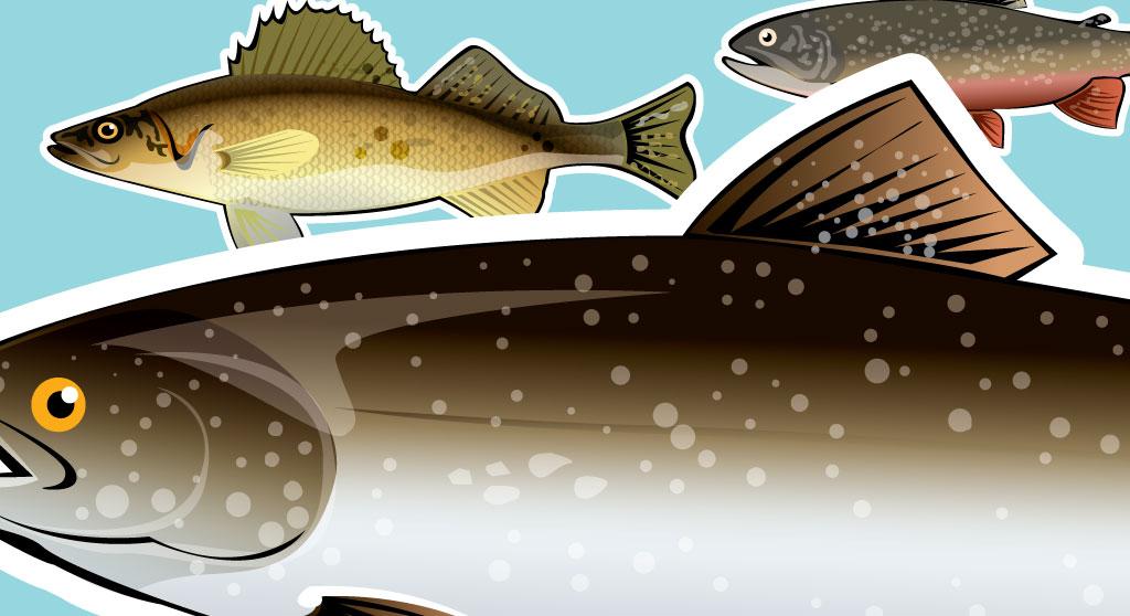 <p>Reproduction d'espèces de poissons du territoire Cri pour dépliant</p>